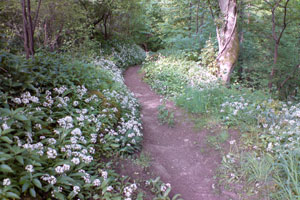 Glen Road wild garlic image
