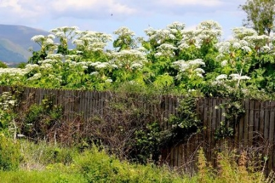Giant Hogweed blitz threat?